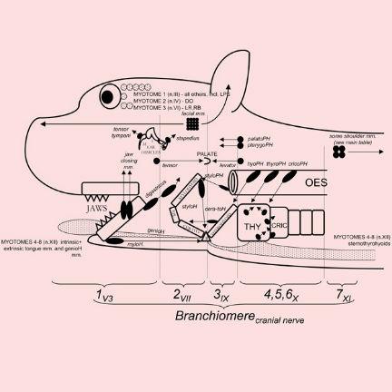 Schematic representation of the segmental origins of the mammalian head, David Bainbridge, 2010